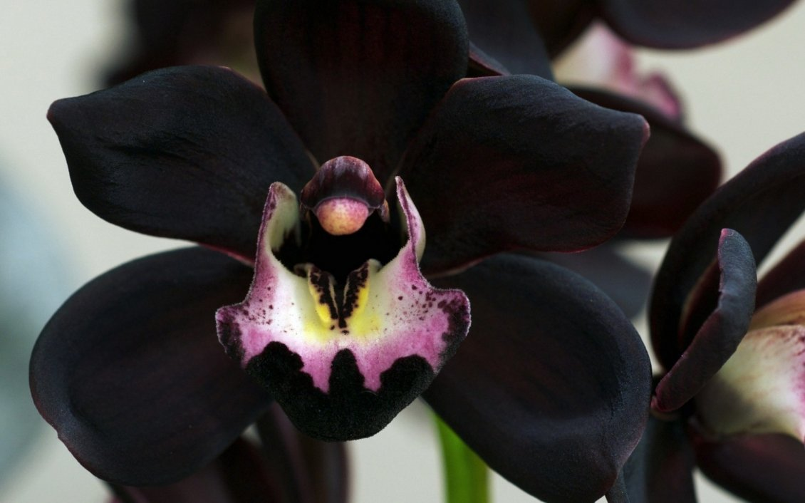 Download Wallpaper Wonderful rare black orchid flower - Macro wallpaper