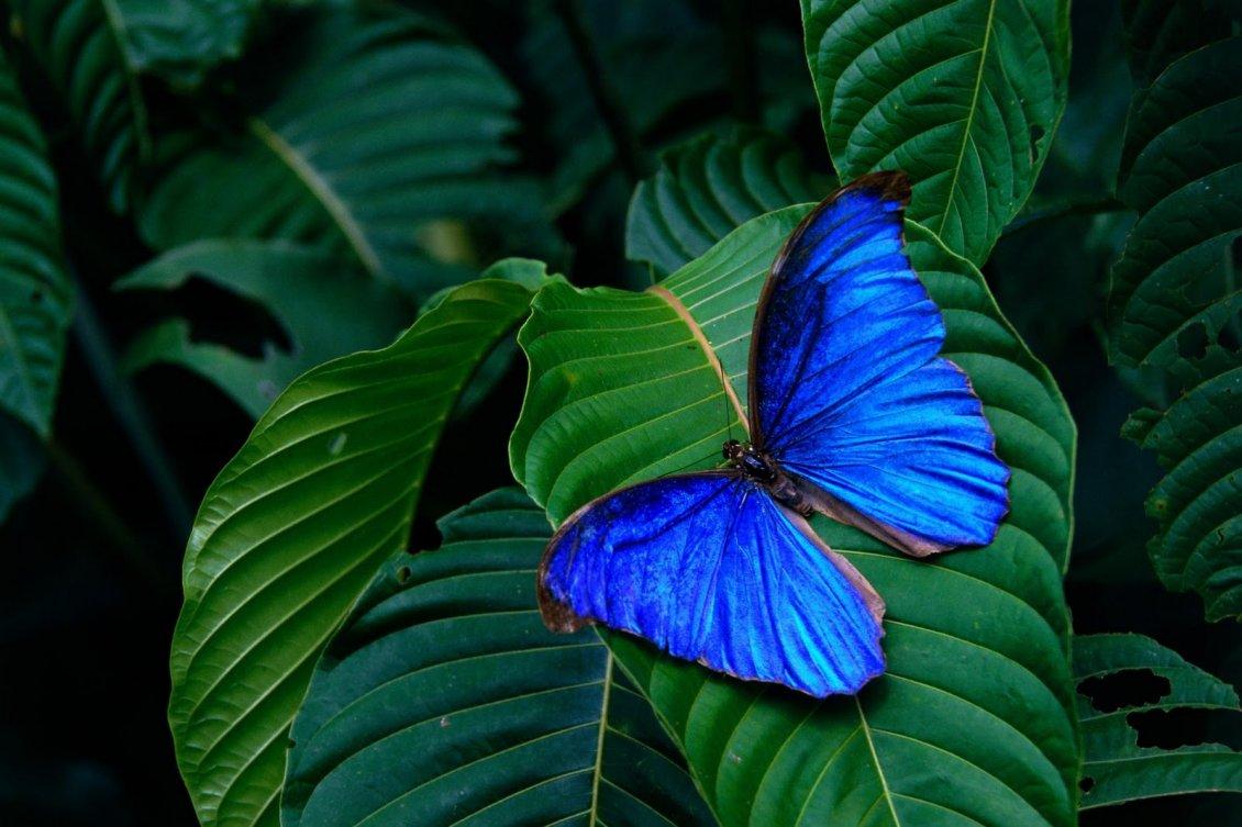 Wonderful Blue Butterfly On A Green Leaf Macro Wallpaper
