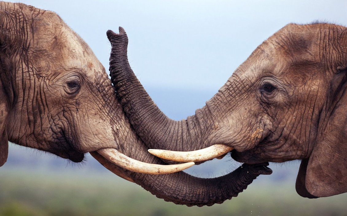 Download Wallpaper Kiss between two sweet elephants - HD wild animal