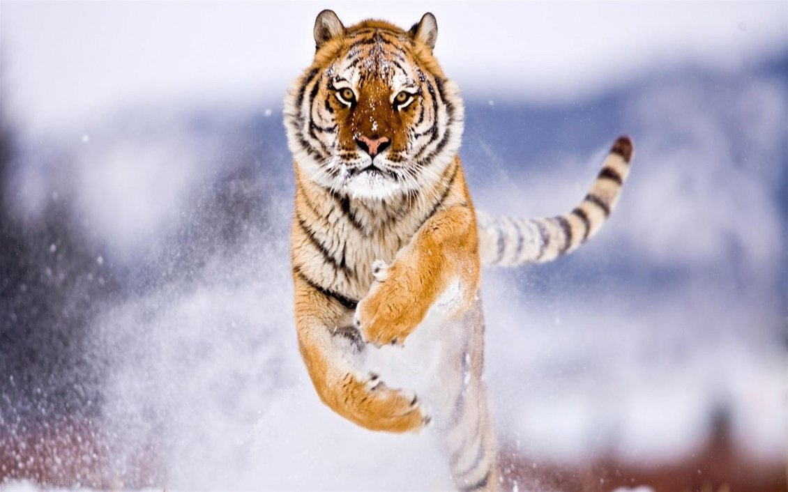 Download Wallpaper Spectacular jump in the snow - Furious tiger
