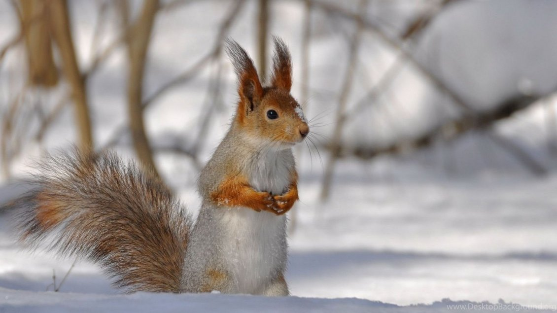 Download Wallpaper Sweet little squirrel in the snow - HD wallpaper