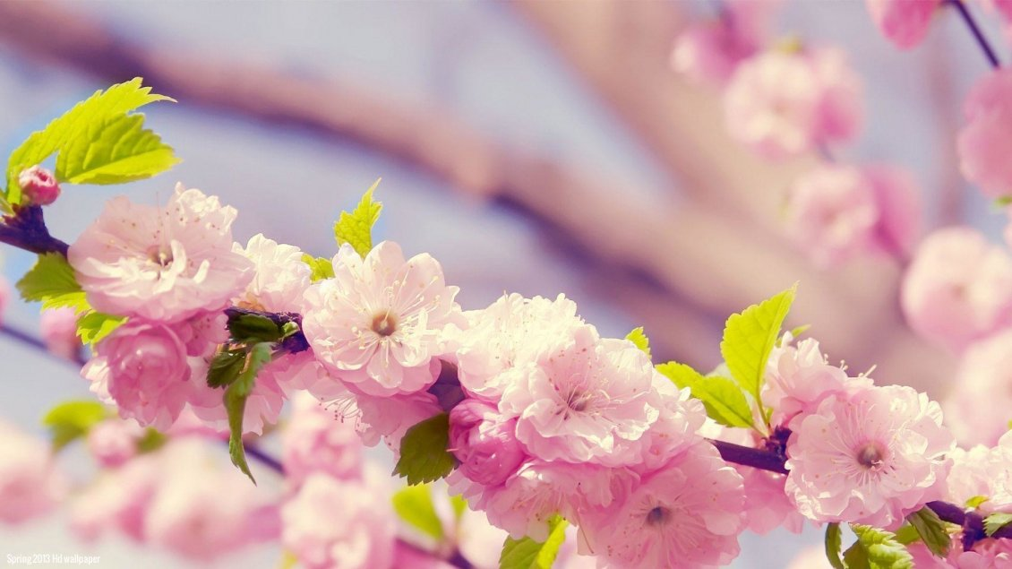 Download Wallpaper Spring blossom trees - Wonderful cherry flowers