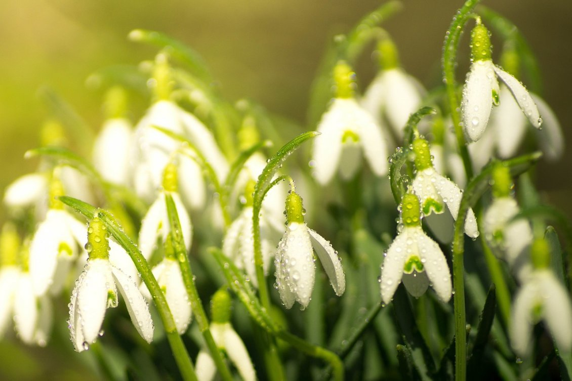 Download Wallpaper Good morning beautiful snowdrops - Macro water drops
