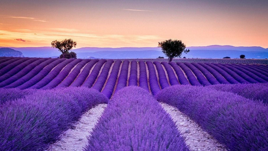 Download Wallpaper Big wonderful Lavender field - Love purple color and perfume