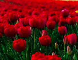 A field of red tulips bloomings and buds