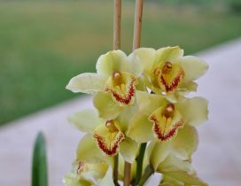 Beautiful yellow and red orchids