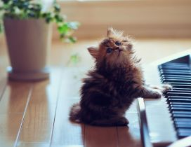Cute kitten playing the organ