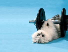 Cute white cat lifting weights  - Cat at gym