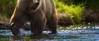 Brown bear walking in the river
