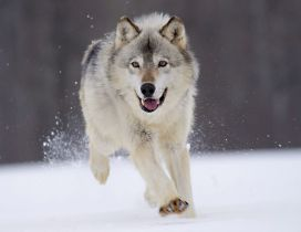 Gray wolf running through snow for prey
