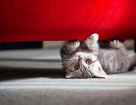 Grey kitty under the red sofa - HD wallpaper