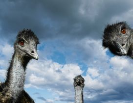 Three ostrich heads and the sky with clouds