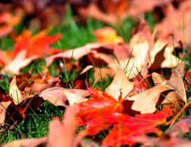 Dry red leaves fell in the grass