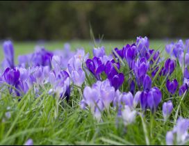 Many purple crocuses in the grass