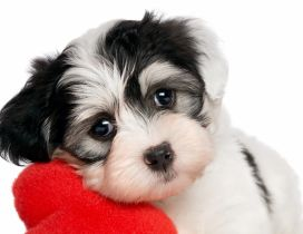 White and black puppy with a red plush heart