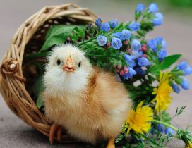 A cute chicken in a overturned basket with flowers