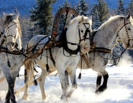 Three harnessed horses through snow