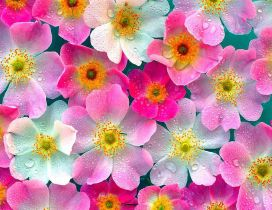 White and pink flowers with water drops