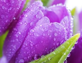 Purple tulips with water drops - Spring flowers