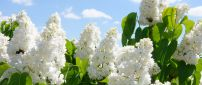 The beautiful white lilac is blooming