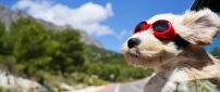 A white puppy with red swim glasses on the car window