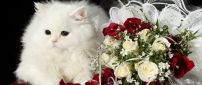 White cat with bushy fur near a bouquet of roses