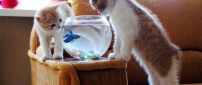 Two cute cats chasing fish in aquarium