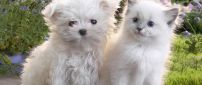 A white cat beside a white puppy