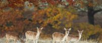 Four deers in the dry forest - Autumn day