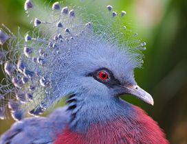 Gray and red crowned pigeons - Beautiful feathers