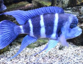 Striped blue fish in an aquarium - Fins wallpaper
