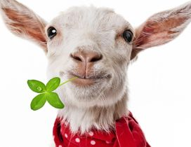 Funny white goat with a four leaf clover in mouth