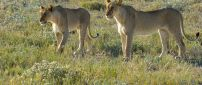 Two lionesses in the grass field - Wild animals