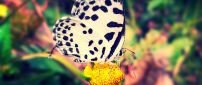 A white and violet butterfly on the yellow flower