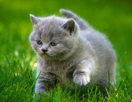 Gray little kitty in the green grass