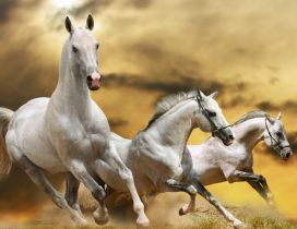 Three beautiful white horses running