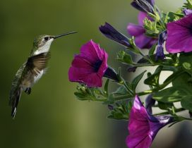 A beautiful little bird and many purple petunias