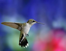Super Colibri bird in flight - Bird wallpaper
