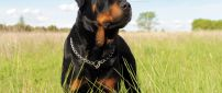A black Rottweiler Dog in the grass field