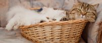 Cute little white and gray cats in a basket