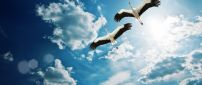 Two gorgeous storks flies on the blue sky