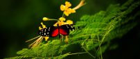 Gorgeous black and red butterfly on yellow flowers