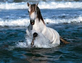 A gorgeous white and brown horse in water