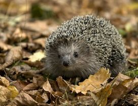 Little hedgehog between the dry leaves on grass
