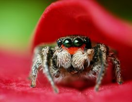 Macro spider on a red petal - HD wallpaper