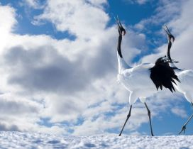 Two white and black winter birds on snow