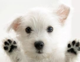 Very sweet white puppy - HD animal wallpaper