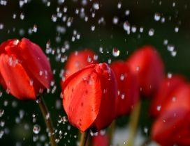 Beautiful red tulips in the rain - HD Rain drops