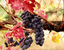 Delicious grapes for a delicious wine - HD wallpaper