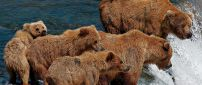 Brown bears family in a river - Wild animals